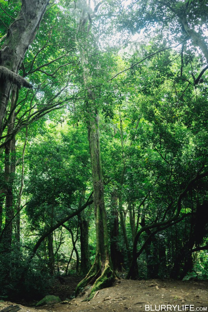 nuuanu_pali_judd_trail_forest_bathing-1