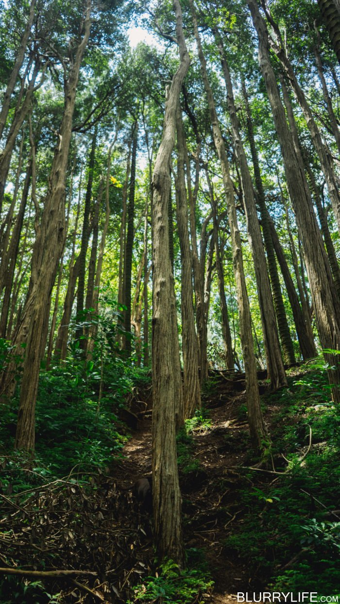 nuuanu_pali_judd_trail_forest_bathing-3