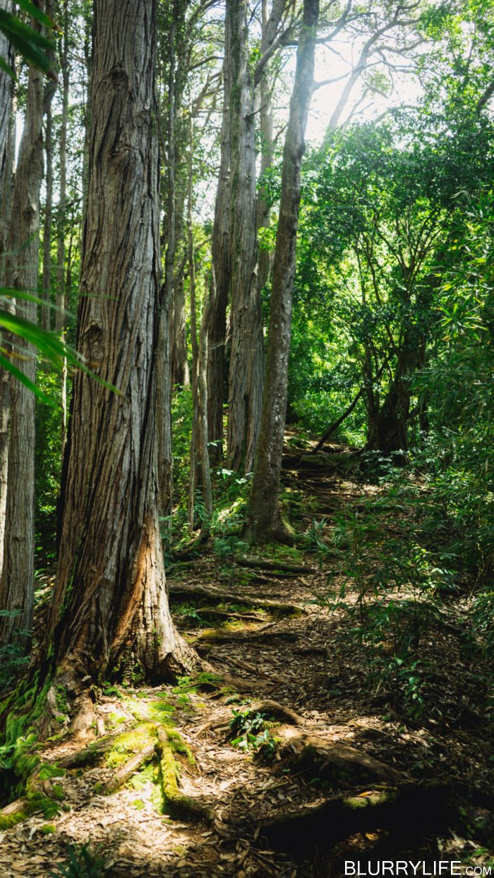 nuuanu_pali_judd_trail_forest_bathing-5